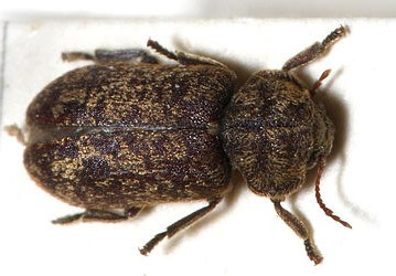 Image of an adult Death Watch beetle.