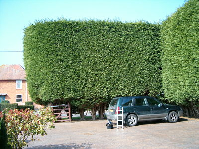 Image of a high hedge.