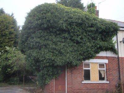 Image of an Ivy covered house.
