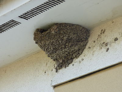 Image of a swallows nest.